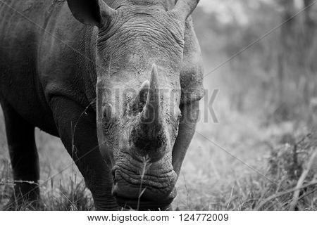 Grazing White rhino in black and white in the Kruger National Park, South Africa.