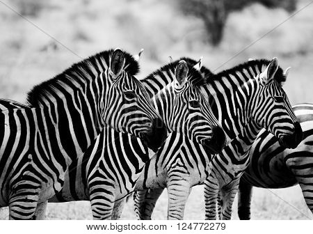 Starring Zebras in black and white in the Kruger National Park, South Africa.