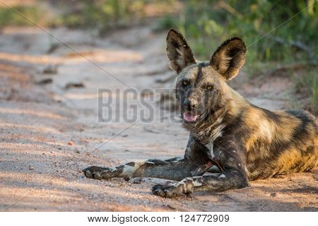 African wild dog laying in the sand in the Kruger National Park South Africa.