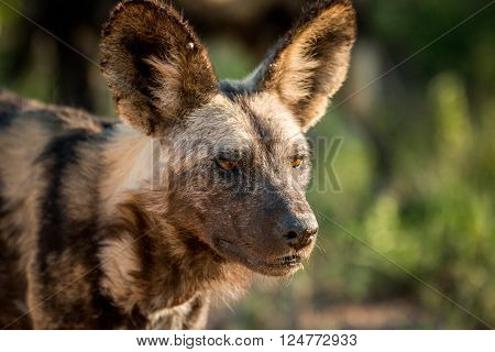 African wild dog starring in the Kruger National Park South Africa.