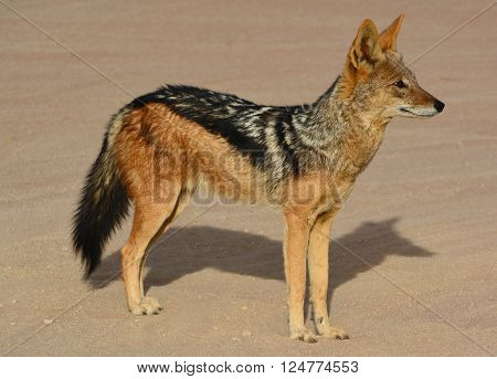 Black-backed jackal and side-striped jackal of sub-Saharan Africa Namibia