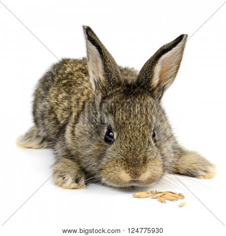 little rabbit isolated on white background