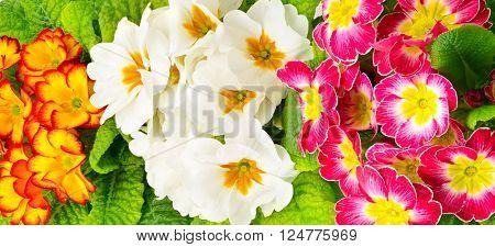 Colorful fresh primula. Floral background