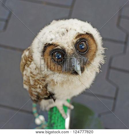 closeup of  ural owl or strix uralensis bird