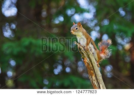 A Canadian female red squirrel perched on top of a broken old branch. A blurred forest provides an abstract background with abundant copy space. Photo taken in Ontario Canada.