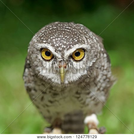 closeup of spotted owlet or athene brama bird