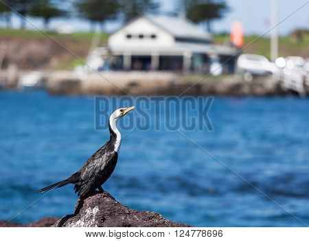Little Pied Cormorant sunbathing in Kiama, New South Wales, Australia