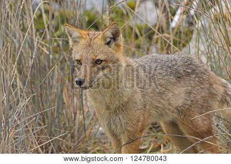 Andean Fox Moving Through the Grass in Tierra del Fuego in Chile