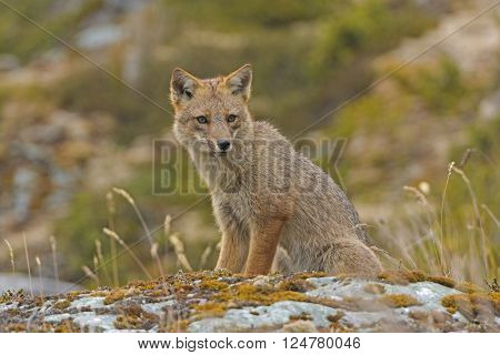 Andean Fox Looking for Prey in Tierra del Fuego in Chile