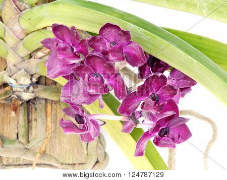 purple orchids flower close up on white background