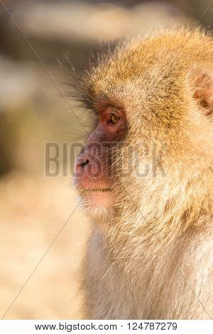Wildness monkey side profile