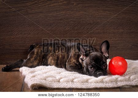 The dog lies on a rug next to a toy - a red balloon. Pedigreed Dog, French Bulldog. Color red. Background wooden board