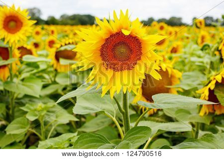 Sunflower field, Provence in southern France, Camargue. On summer day with big yellow flowers.