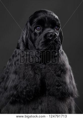 Close-up portrait of American Cocker Spaniel dog