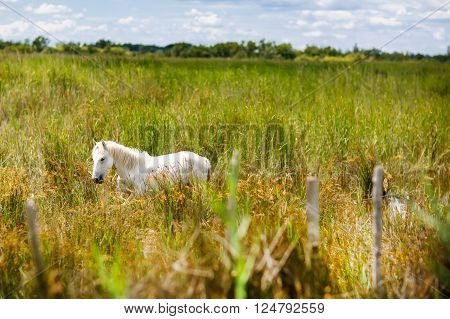 wild white horses of the Camargue, Provence, France, grazing in the wetlands on a summer afternoon