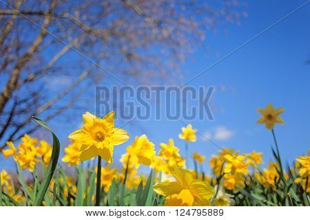 Yellow Narcissus Flowers Meadow on Blue Sky Background