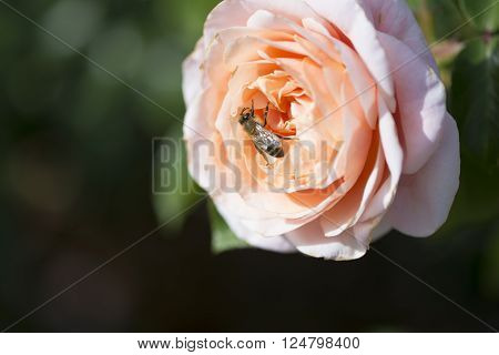 Peach coloured rose with a visiting bee. Very shallow focus on just the bee, leaving everything else soft.