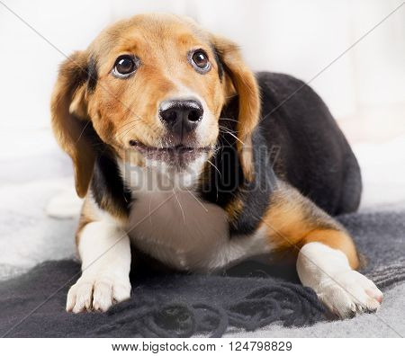 Cute Beagle Puppy On A Blanket.