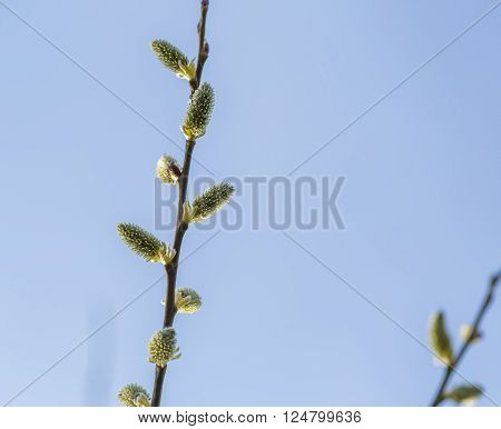 Blooming Willow In Springtime