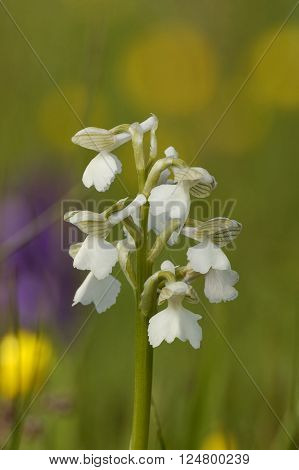 White Green-winged Orchid - Anacamptis morio Grassland flower