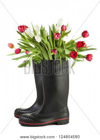 Bouquet off white and ruby tulips in black rubber boots isolated on white background