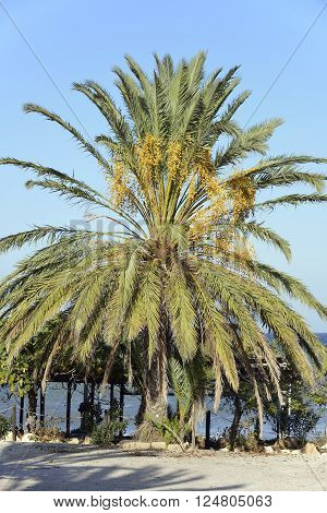 Date Palm - Phoenix dactylifera On Cyprus coast in November