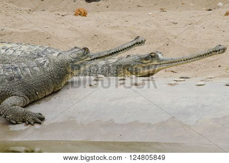 crocodiles or true crodiles are large aquatic reptiles that live throughout the tropics in africaasia the americas and 
