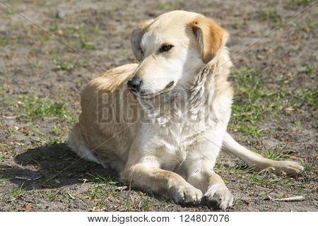 In the summer outdoors bright sunny day lying on the grass red stray dog.