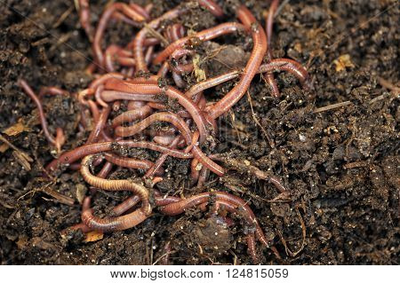 Garden compost and worms recycling plant and kitchen food waste into a rich soil improver and fertilizer.