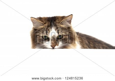 fluffy cat on a white background sits behind a white banner. horizontal photo.