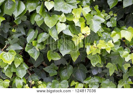 Background image of hedera green leaves (Hedera helix).
