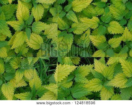 Background. Bright foliage yellowed nettle. Close up