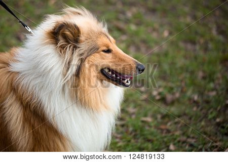 Collie Dog is distinctive type of herding dog. The breed originated in Scotland and Northern England
