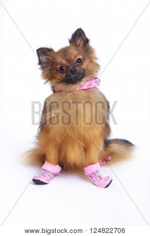 Little sitting German Spitz in shoes and the collar