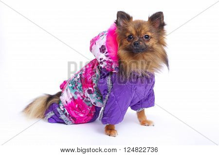 Sitting German Spitz in the winter overalls
