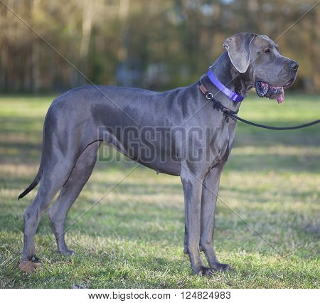 Grey Great Dane that is purebred standing on a grassy field