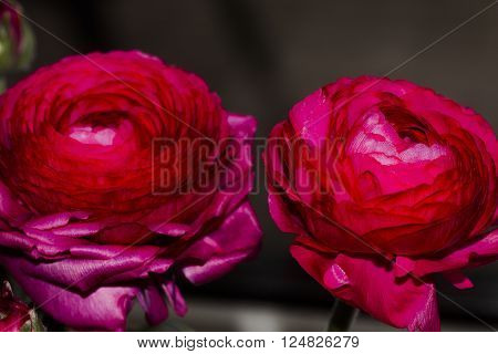 blossomingred persian ranunculud against a black background