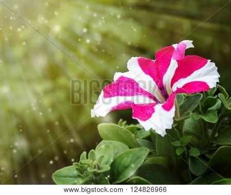 Bicolor petunia flower covered sunlight in nature
