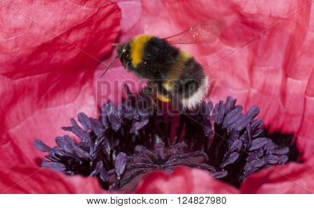 a bumble bee hovering over a poppy
