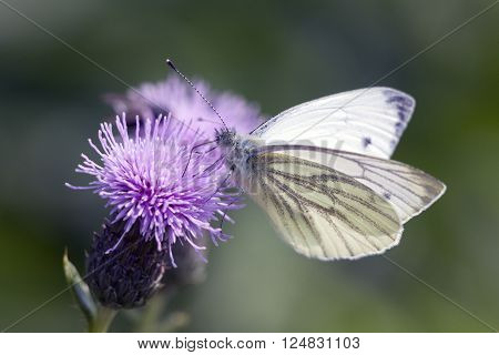 close up photo of a white butterfly in spring