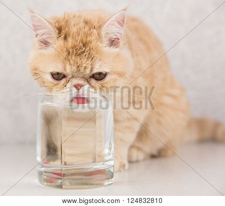 funny cat breed Exotic drinks water from a glass