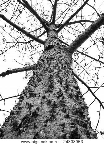 Giant tree with thorny trunk (Bombax ceiba L.) isolate black and white background Clipping Path Ant's eyes view