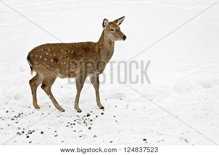 David's deer or Milu (Elaphurus davidianus) wildlife
