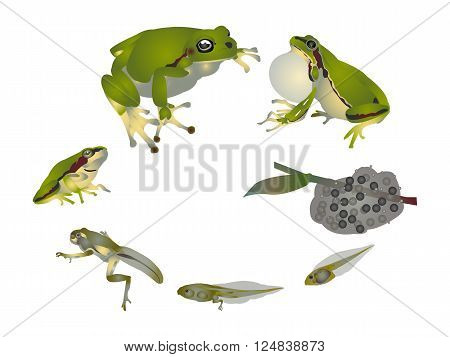 It is illustration of life cycle of European tree frog.