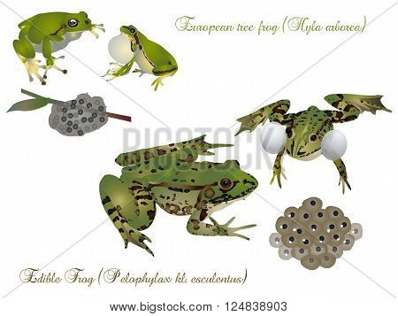It is image of frogs with offsprings.