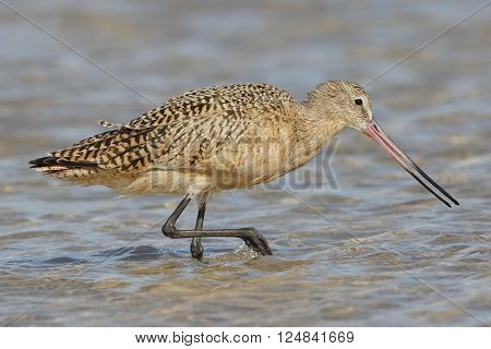 Marbled Godwit Foraging In A Tidal Pool - Florida