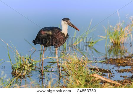 The woolly-necked stork bishop stork or white-necked stork is a large wading bird in the stork family Ciconiidae.