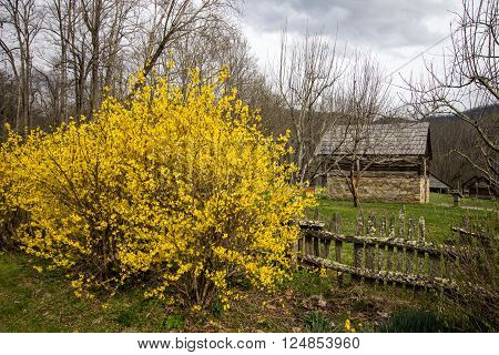 Spring In The Smoky Mountains. Forsythia bush and daffodils  bloom in late March at the Great Smoky Mountain National Park with the Mountain Farm Museum in the background.