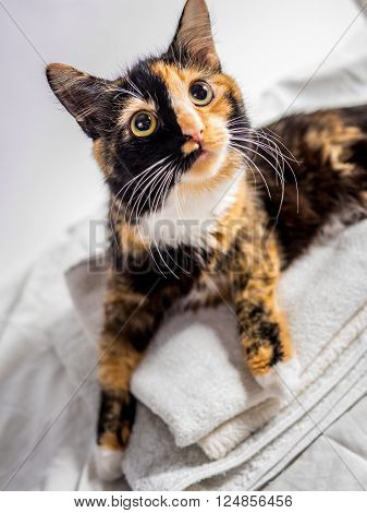 Beautiful Tricoloured Cat