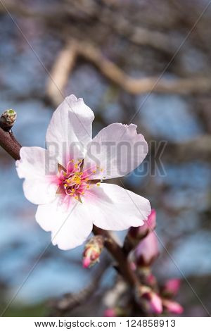 Almond Blossom On Gomera